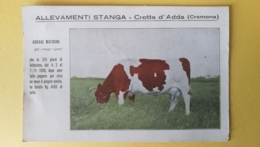 Mucca Abduae Matrona - Allevamenti Stanga - Crotta D'Adda (Cremona) - Mucche