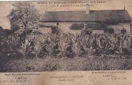 Effets Du Sulfate D'Ammoniaque Sur Tabac - Chez M. A. Catton à Jussey (70) - Agriculture - Engrais - Culturas