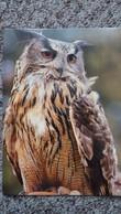 CPM EAGLE OWL CLAUDE EUROPE PARADISE PARK HAYLE CORNWAL  HIBOU CHOUETTE ? - Birds
