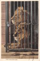R167081 Lions. Bellevue Zoo. 1934 - Postcards