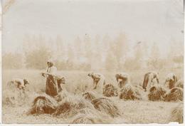 Cueillette Du Lin Termonde - Dendermonde - 1904 - Photo Format 9 X 13 Cm - Persone Anonimi