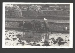 Rizière Expérimentale Indonésienne - Indonesia - Buffel / Buffle / Buffalo - Rice Culture - Cultures