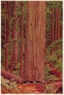 CP  -  California Redwood - Non Ecrite - Canada
