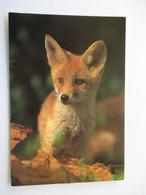 Renard Red Fox  Carte WWF Non écrite - Animaux & Faune