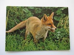 Renard Red Fox - Animaux & Faune