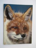 Renard  Carte Non écrite Red Fox - Animaux & Faune