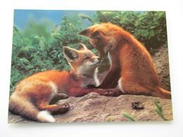 Renard  Carte Non écrite Red Fox  Love - Autres
