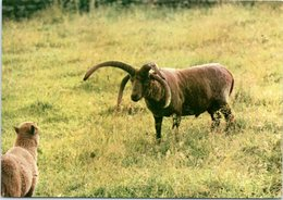 Animals - Sheep, Loghtan Ram And Lamb - Animals