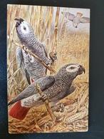 Grey Parrot - OISEAU / BIRD - PERROQUET / PARROT -  ILLUSTRATION  - TSN - VINTAGE ART PC - Oiseaux