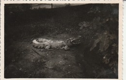 Cambodge : Siem Réap : : Crocodile : 1948 ( Format : 8,7cm X 6,2cm ) - Places