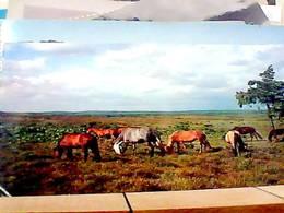 ENGLAND HAMPSHIRE NEW FORET PONIES  CAVALLI HORSES   VB1964 HA8249 - Inghilterra