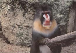 CPM - ZOO DE LA PALMYRE - Les MATHES - SINGE MANDRILL - Edition MSM Lestrade - Monkeys