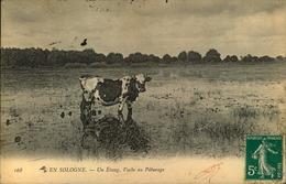 N°1816 RRR DID4  EN SOLOGNE UN ETANG VACHE AU PATURAGE - France