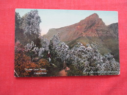 Silver Leaf Trees  Lions Head  South Africa  Ref 3200 - South Africa