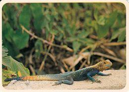 1 AK Cameroun / Kamerun * Margouillat - Ein Gecko - Tiere - Animals - IRIS Karte Nummer 8455 * - Kamerun