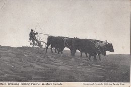 Vintage 1905-1910 - Oxen Ox Breaking Rolling Prairie Canada - Animal Agriculture - Written - 2 Scans - Canada