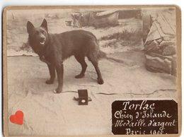 34550-ZE-ANIMAUX-Torlac-Chien D'Islande--Médaille D'argent Paris 1906 - Honden