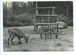 Antwerpen Anvers Zoo Jardin Zoologique Bouquetins Des Alpes Alpensteenbok Alpine Ibex - Antwerpen