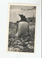 FALKLAND PINGOUIN ET SON POUSSIN - Falkland