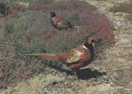 Faisans Communs - - Birds