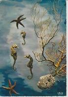 19 / 3 / 111. -   LES  HIPPOCAMPES  OU  CHEVAUX   MARINS  -  C. P. M. - Poissons Et Crustacés