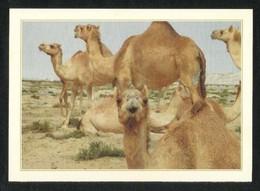 Bahrain Picture Postcard Camel Farm View Card - Bahrain