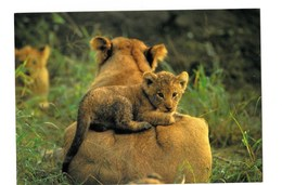 Lions Lionne Lionceau Lion Cub (Panthera Leo) N°414  TBE - Lions