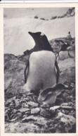 FALKLAND   :  Carte PLASMARINE Et MARINOL  :  Pingouin Et Son Poussin . Oblitération Port Stanley - Falkland