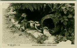 AUSTRALIA - AUSTRALIAN KOOKABURRAS - THE ROSE SERIES - 1940s/50s ( BG2560) - Australie