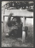 Orang Oetan / Orang Utan - Zoo Antwerpen - Photo Card - Singes