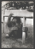 Orang Oetan / Orang Utan - Zoo Antwerpen - Photo Card - Apen