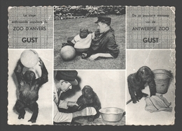 Gorilla - De Zo Populaire Mensaap Gust Van De Antwerpse Zoo - Singes