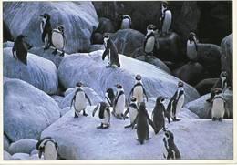 Lote PEP1262, Chile, Postal, Postcard, Cachagua, Pinguinos De Humboldt, Penguin, Wildlife, - Chile