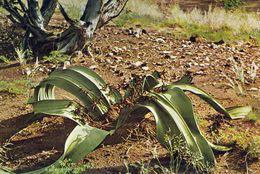 1 AK Namibia * Welwitschie Pflanze Bis 500 Jahre Alt, D. Welwitschia-Ebene Steht Auf D. Tentativliste Für DasUNESCO Erbe - Namibia