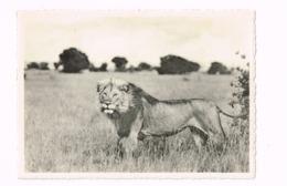 Lion.Vitshumbi,plaine Du Lac Edouard.Parc National Albert - Belgisch-Kongo - Sonstige