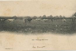 En Berry Paturage Berrichon Elevage Vaches Allogny Cher  La Cour - Elevage