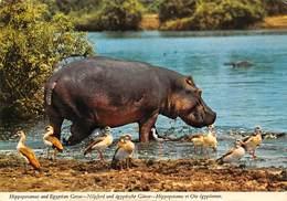 PIE-JmT-19-1641 : HIPPOPOTAME - Hippopotamuses