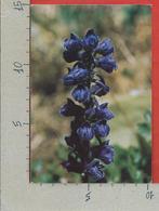 CARTOLINA NV ITALIA - FIORI - DELFINO - Delphinium Elatum - 10 X 15 - Fleurs