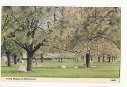 CPA Cherry Blossom At Rodmersham : Achat Immédiat - Agriculture