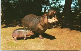 Animals - Hippo And Baby At Whipsnade Park Zoo - Hippopotamuses