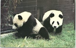 Animals - Pandas Chia-Chia And Ching-Ching - Animals