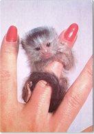 Animals - Baby Silvery Marmoset, Kilverstone Wildlife Park - Monkeys