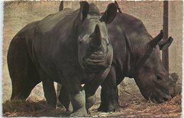 Animals - White Rhinoceros - Rhinoceros