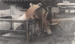 AK - Bauer Beim Füttern Der Zuchtsau - 1920 - Landwirtschaft