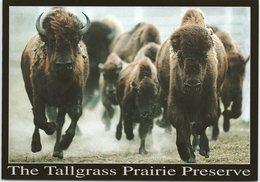 Animals - Bison, The Tallgrass Prairie Preserve - Animals