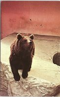 Animals - Brown Bear, Bristol Zoo - Bears