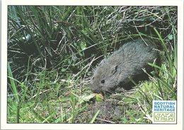 Animals - Orkney Vole - Animals