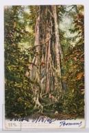 Original Postcard - Postal Mexico - Atoyac - Cofee Plantation Germania - - México