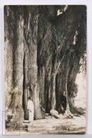 Original Photographic Postcard - Postal Mexico - Arbol Del Tule - Tule Tree - Oaxaca - Juarez - México