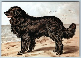 Newfoundland By Charles Barber Illustrated Book Of Dog 1881 New Postcard - Dieren